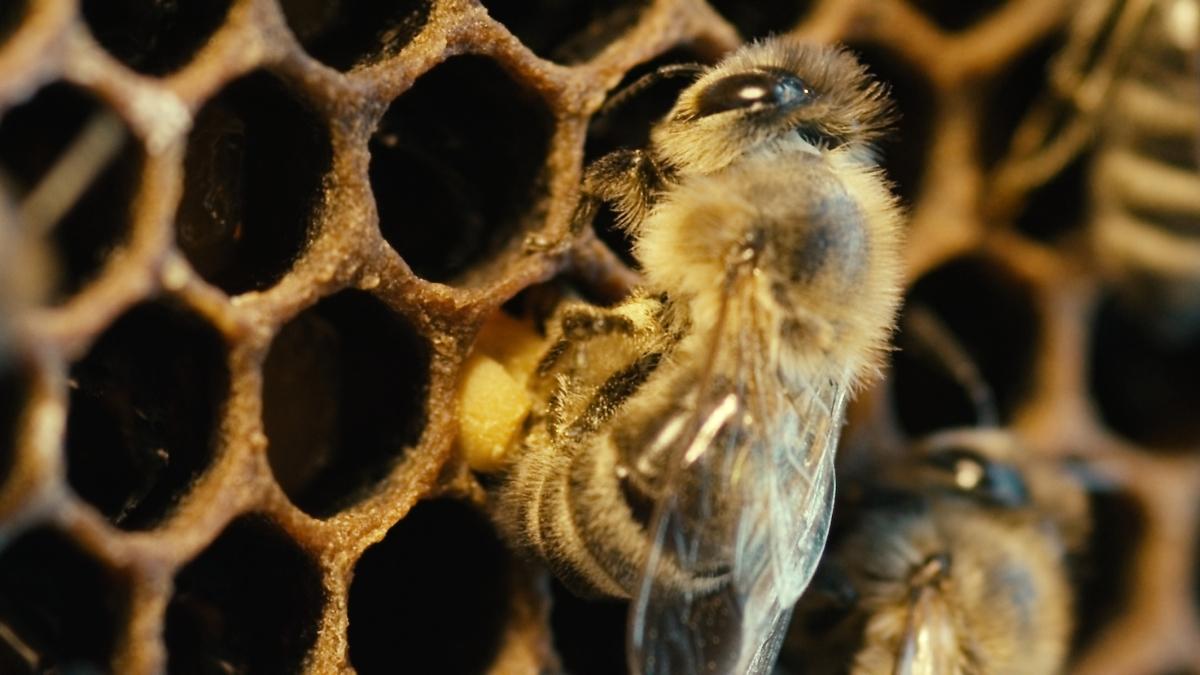 «Abelhas e Homens»: uma luta de espécies até quando?